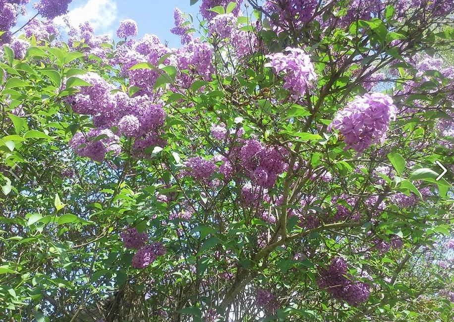 3.29.15 Blooming PDX Lilacs