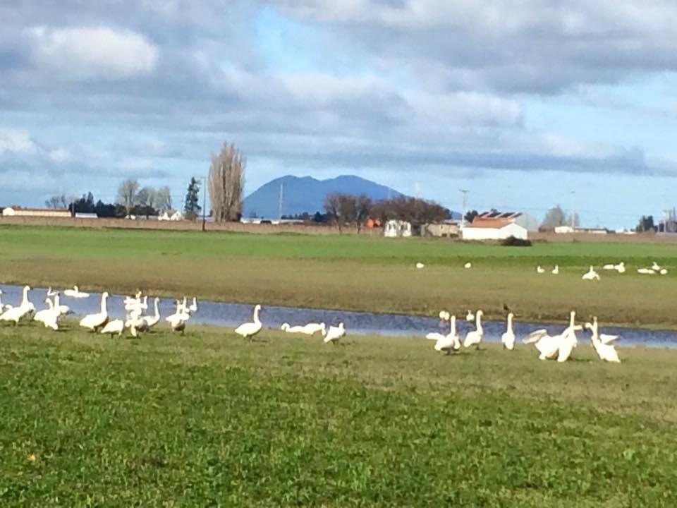Swans Subud Skagit Birdwalk 2016